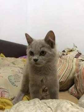 kucing persia/anggora