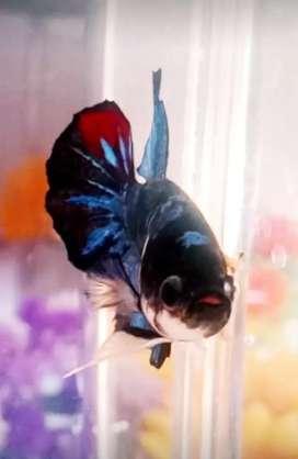 Ikan Hias Cupang Avatar