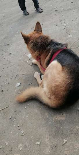 German shepherd Male (alshion mix) 2bl court