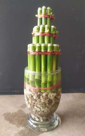 Bambu Rejeki/sudah lengkap pot kaca minimalis+batu coral putih