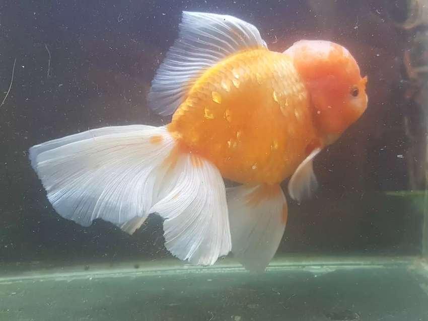 Ikan mas koki oranda 20 cm 0