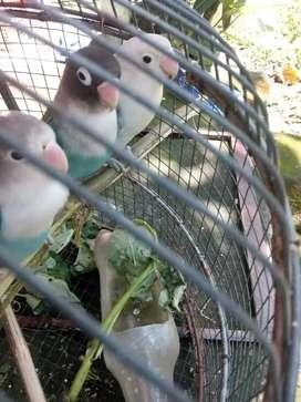 Lovebird murahh meriah gaiss