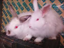 Pair of Angora Rabbit for sale