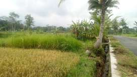 550M TERAS KOPI MERAPI Sawah Subur dekat Merapi Park JK7590