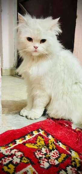 Persian Cat FEMALE for urgent Sale