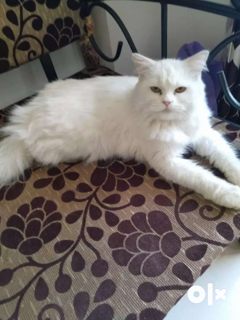 Pure White Pure Linej Persian Cat And Kittens. 0