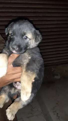 German shepherd (ALL PAKISTAN DELIVERY)