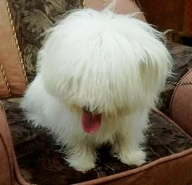 Terrier Poodle Male SuperB Quality