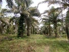 Kebun sawit 20 ha