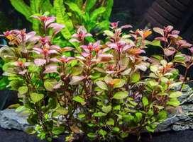 aquarium plant super red ludvigia