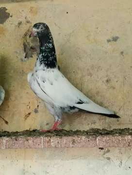 Sait walay Teddy kabooter(pigeons) breeding pairs and pathay pathiyan