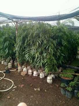 Pohon glodogan tiang tampungan plus pasang