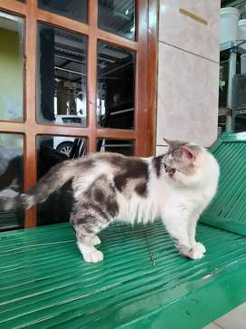 Kucing Exotic Shorthair Black Harleq