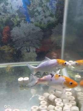 Ikan KOI Grade A