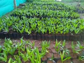 Per sapling 15 rupees whole sale rate