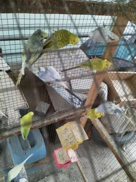 Crested budgies for sale