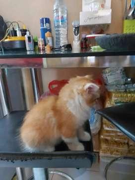 Kucing anakan persia medium