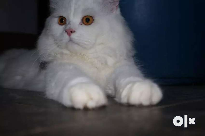 Doll Face Persian MALE Cat For Mating 0