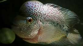 Ikan lohan kanfa jumbo sepasang