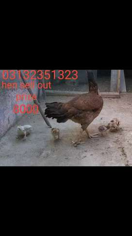 Aseel murge with 6 chick