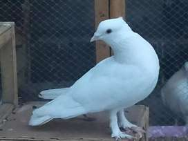 Full of quality , healthy and full white breeder male
