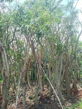 Free tanam dan pupuk/jual pohon tabebuya tinggi 3m