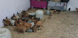 Home breed chiks for sale
