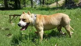 Pitbull male avail for stud cross matting in Lahore