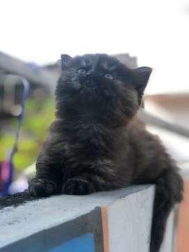 kucing persia gimbulll