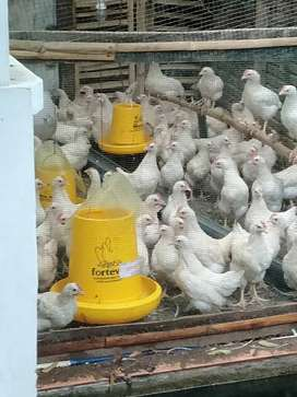 Jual Ayam pejantan