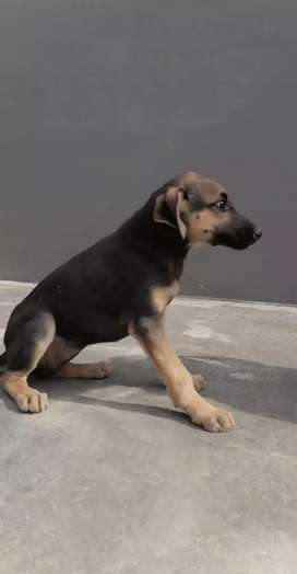 german breed tycon