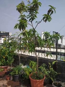 टेरेस वर किंवा बागेत लावण्यासाठी मोठी फळ झाडे. Trees,Big fruit plants.