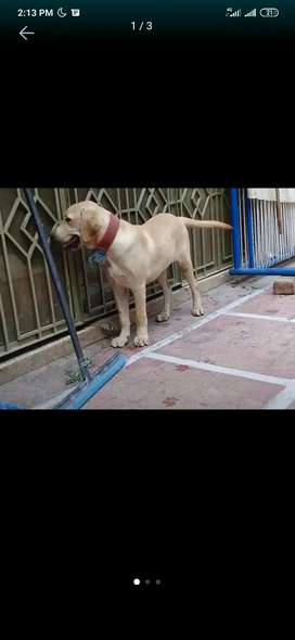 Beautiful healthy and trained male Labrador pure breed for sale