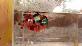 Ikan Cupang Jantan