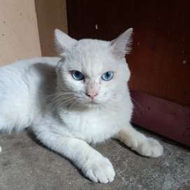 Kucing Persia shorthair