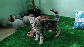 Kucing Silver Marble