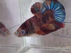 Ikan cupang male