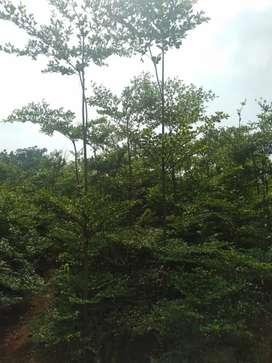 Jual cepat langsung kirim - jual pohon ketapang kencana tinggi 3meter