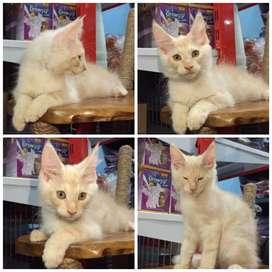 Mainecoon kitten 3 ekor jantan 2,5 bulan BEKASI CAT HOUSE
