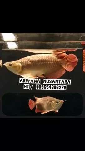 Arwana super red shok body