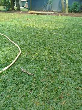jual rumput gajah mini.pembuatan taman.dan kolam mini malis