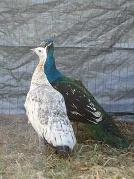 PeaCock pair ..male and female .. young