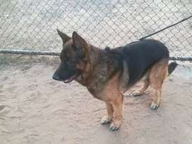 German Shepherd Non Pedi Male for Sale