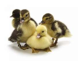 Duck chick's