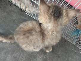 Kucing Persia mix anggota umur 6 bulan, lucu, dan manja