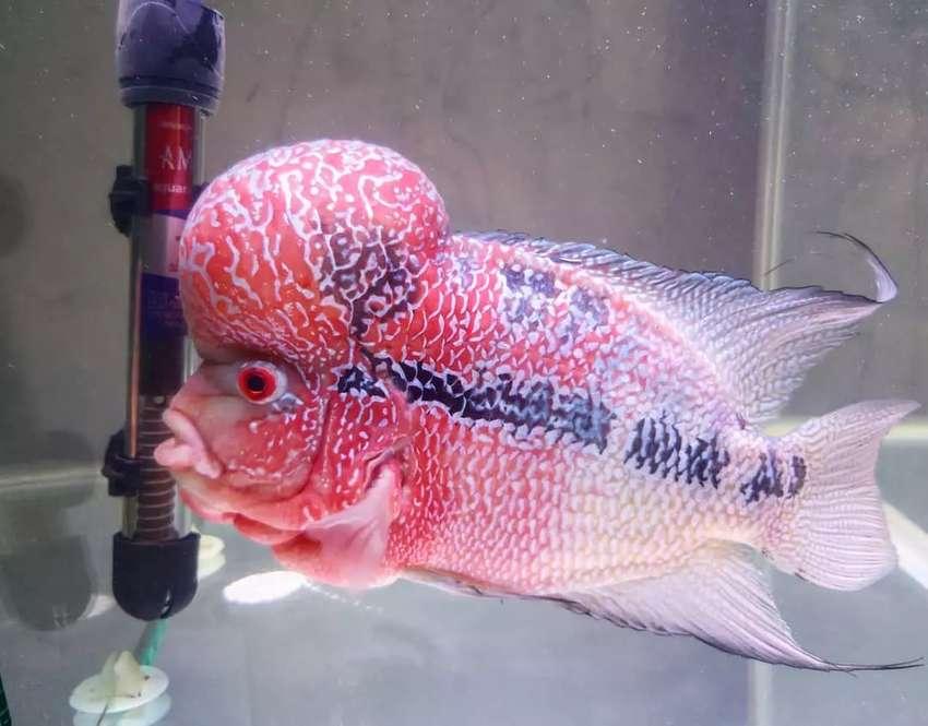 Louhan Super red dragon ori thailand SRD big size 0