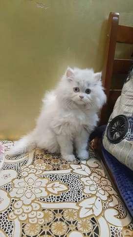 Persian cat kitten sale long fur healthy cats sale