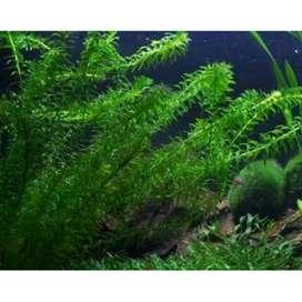 Tanaman air hydrilla
