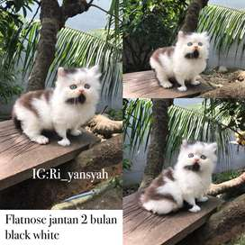 Kucing persia usia 2-3 bulan super gembul jantan betina ada