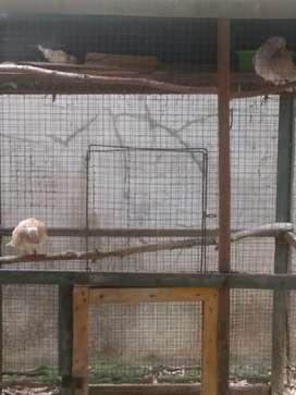 Burung puter/kuter blorok irak